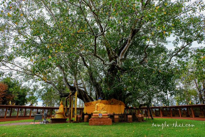 L'Arbre de la Bodhi, considéré comme le plus ancien de Thaïlande